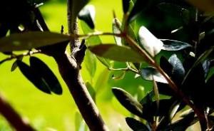 Lemon mit Vitamin C Olivenblatt Tee