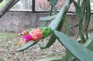 Banane Kaktus Grüner Rotbuschtee