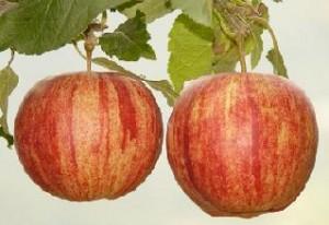 Apfelbäumchen Früchtetee