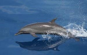 Golden Dolphin Früchtetee